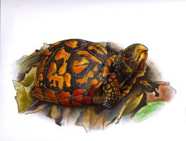 box turtle by EatToast