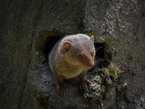 Dwarf mongoose by MartyMcFly81