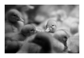 Sleeping Ducks by Oztographer