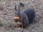 Squirrel, the return by Ness-du-Frat