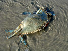 The Blue Crab by roamingtigress