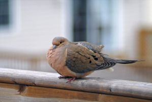 mourning dove 2 by LucieG-Stock