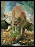 Mountain Lion by Dracoart
