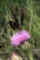 Thistle Lunch II by Specter64