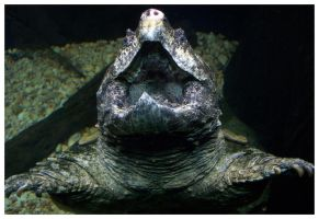 alligator snapping turtle by numberoneblind