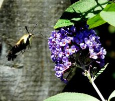Snowberry Clearwing Moth by duggiehoo