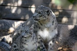 Snow leopard and cub by sayjinlink