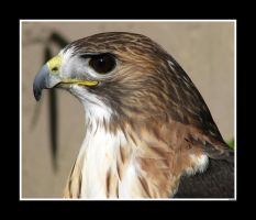 Alex the Red-Tailed Hawk by Obscuri