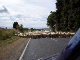 Sheep on road 1 by OWTC-Stock