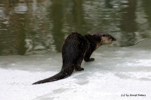European Otter / Fischotter by bluesgrass