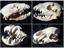 Juvenile Spotted Hyena Skull Composite by CatBonesTaxidermy