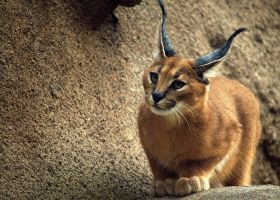 Caracal by xsiorcanna