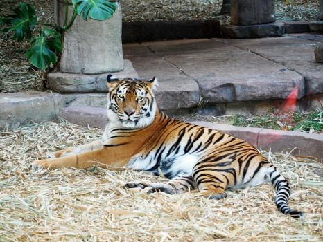 AUZOO Tiger 20 by becuffin