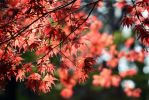 Red Leaves by fayedilion
