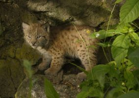 lynx in the sunsrt by Malmborg