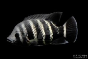 Striped fish by hatesymphony