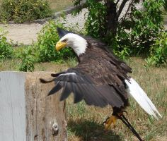 Bald Eagle Jump by asaph70