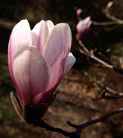 Magnolia Blossom by alimuse