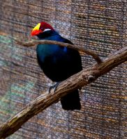 Violaceous Turaco by deseonocturno