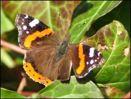 Red Admiral by Somebody-Somewhere