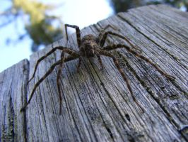 Dock Spider by jaimejouelapiano