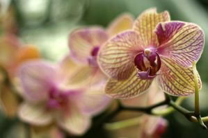 Just an orchid by eskimoblueboy