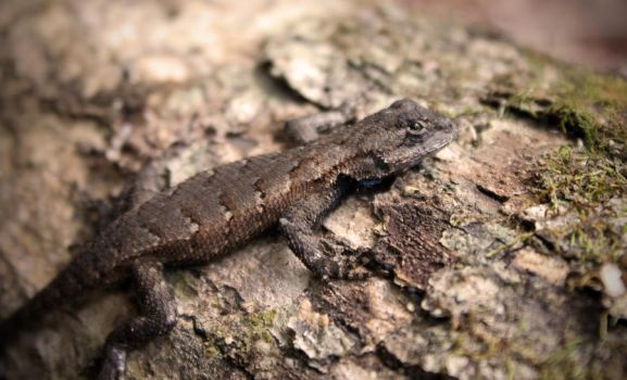 Eastern Fence Lizard by cake-fiend