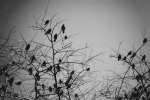 the ravens by seeinglight