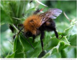 Fuzzy Wuzzy Bee by In-the-picture