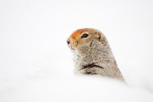 Arctic ground squirrel by softflower