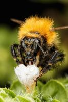 Bumblebee in Basil IV by dalantech