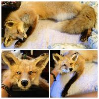 Soft Mount Red Fox SOLD by YukiChana