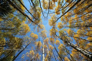 Among The Aspens by HighCountryImages