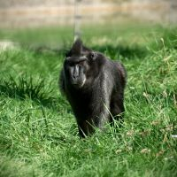 Macaque by FurLined