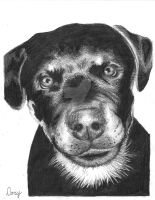 Drawing of Rottweiler by DorysStories