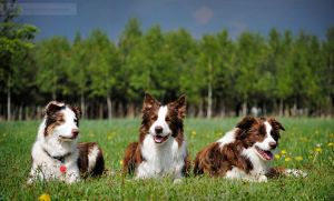 Trio border collie by Drocco