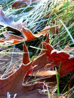 Hard Frost:  Oak Leaves by Foxytocin