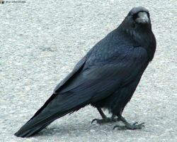 Raven 1 by WillTheEnchanter