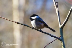 Black-capped Chickadee by sweetcivic