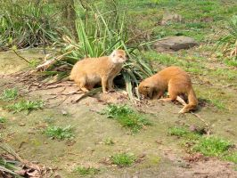 2 Red mongoose by schaduwvacht