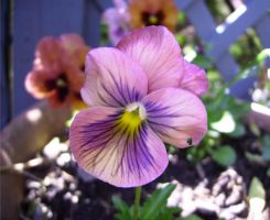 YAY pansy by oceanstarr