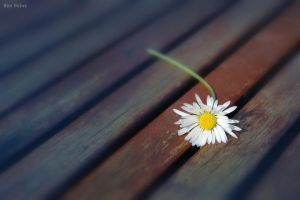 I Picked a Daisy by BenHeine