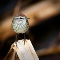 Palm Warbler by QNetX