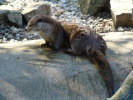 Stock 383: otter by AlzirrSwanheartStock