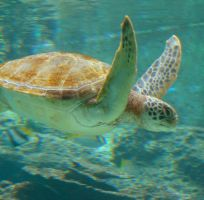 Sea Turtle by worldtraveler08
