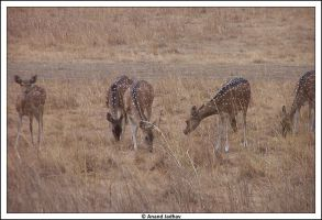 Bhandavgarh - Spotted Deer 03 by Knightmare-at-9