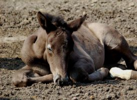 Lazy foal by Benedikte