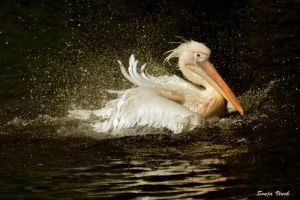 Splashing Pelican by Lentekriebel