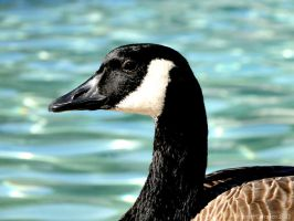 Canadian Goose by sarah2231
