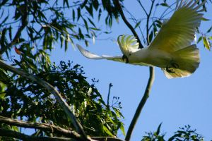 Sulphur Crested Cockatoo 7 by mfunnell